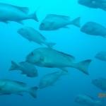 コロダイ成魚の群れ150809