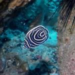 タテキン幼魚150810