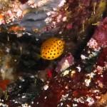 ミナミハコフグの幼魚150818