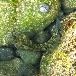 カエルウオ150818