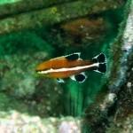 コブダイの幼魚150823