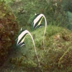 ツノダシのペア150912