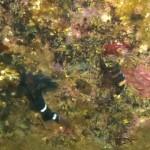ヘビギンポ150913