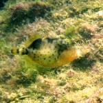 ゴマモンガラの幼魚150921