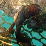 ナンヨウツバメウオの幼魚150921