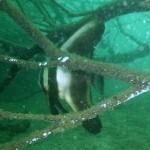 ツバメウオの若魚150927