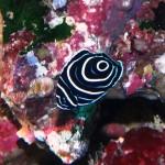 タテジマキンチャクダイの幼魚151003