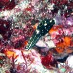 カノコベラの幼魚151011
