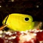 シテンヤッコの幼魚151011