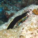 ハナヒゲウツボの幼魚151102