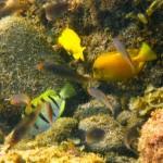 浅場で見れる熱帯のハギ151112