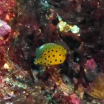 ミナミハコフグの幼魚151206