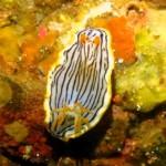 16.05.01 サメジマオトメウミウシ