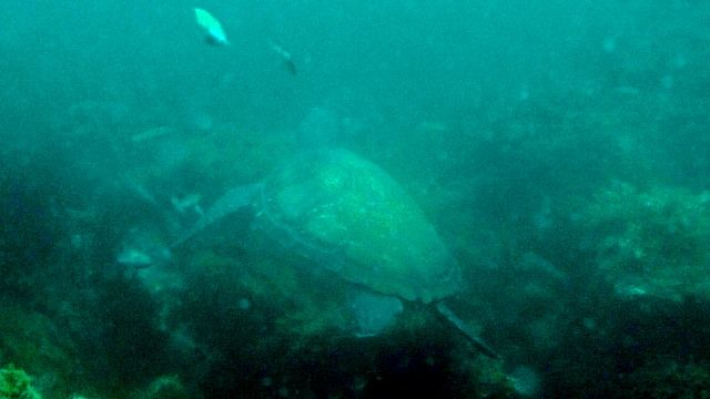 川奈で狙えるウミガメ