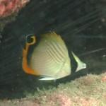 テングチョウチョウウオの幼魚 16.09.04