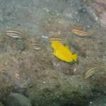 モンツキハギの幼魚 16.09.13