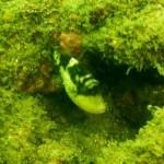 キヘリモンガラの幼魚 16.08.27