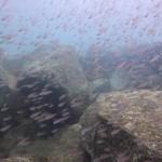 湾内の浅場でも群れが見れます。 16.09.18