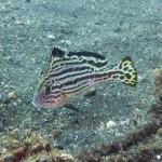 コロダイの若魚 170829
