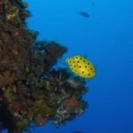 ミナミハコフグの幼魚 170912