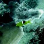 タキベラの幼魚 170912