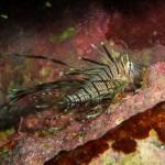 ハナミノカサゴの幼魚 171028