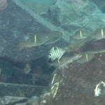シマスズメダイの幼魚とオキナメジナ 171028