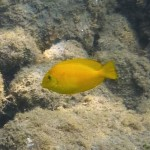 モンツキハギの幼魚 18.08.19
