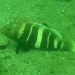 マハタの若魚 18.08.30