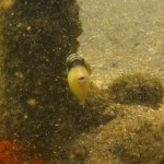ゴマモンガラの幼魚 18.09.04
