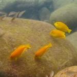 モンツキハギの幼魚 18.09.18