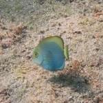 ヒラニザの幼魚 18.09.24