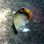 テングチョウチョウウオの幼魚 18.09.24