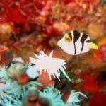 ノコギリハギの幼魚 18.10.28