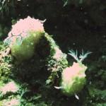 コンペイトウウミウシのペア 18.11.24