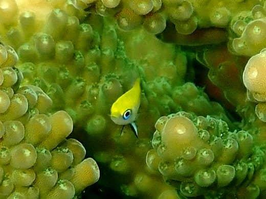 タルボッツダムゼルの幼魚 20.01.28
