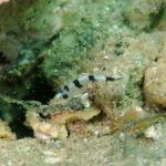 コロダイの幼魚 20.08.30