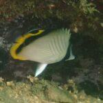 フウライチョウチョウウオの幼魚 21.08.28